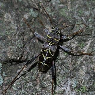 <i>Neoclytus</i> Genus of beetles