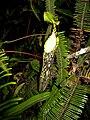 Nepenthes spectabilis 1.JPG