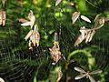 Nephila pilipes jalorensis hunting termite alates 3.jpg