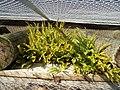Nephrolepis cordifolia (L.) C.Presl (AM AK296994-4).jpg