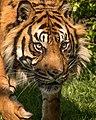 Nias Sumatran Tiger (215537873).jpeg