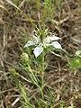 Nigella arvensis sl52.jpg