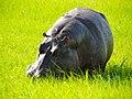 Nijlpaard langs de Chobe Rivier (6558976859).jpg