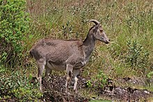 Nilgiri tahr - Wikipedia