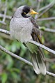 Noisy miner, Manorina melanocephala, a bird in the honeyeater family, Meliphagidae, that is endemic to eastern and south-eastern Australia (16889739379).jpg