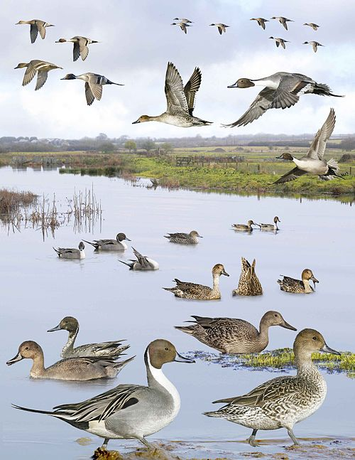 Northern Pintail from the Crossley ID Guide Britain and Ireland.jpg
