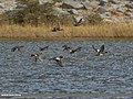 Northern Shoveler (Anas clypeata), Eurasian Wigeon (Anas penelope) & Gadwall (Anas strepera) (30767273160).jpg