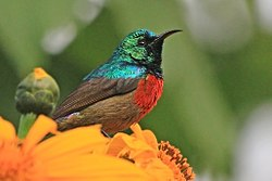 Northern double-collared sunbird (Cinnyris reichenowi preussi) male.jpg