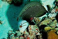 Novaculichthys taeniourus 1.jpg