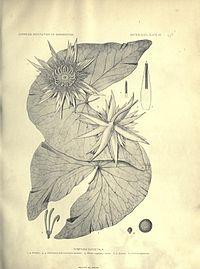 Nymphaea oxypetala
