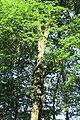Oak 2016-05-29 023.jpg