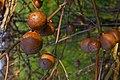 Oak Apples - geograph.org.uk - 391035.jpg