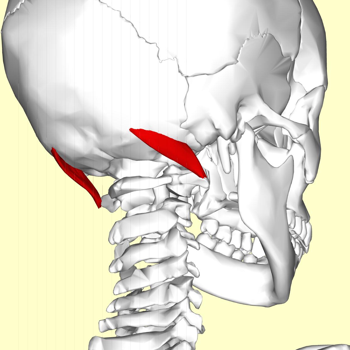 Obliquus capitis superior muscle - Wikipedia Obliquus Capitis Inferior