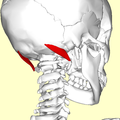 Obliquus capitis superior muscle06.png