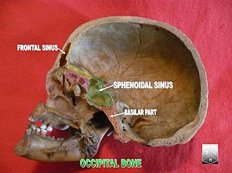 Occipital bone - Image: Occipital bone