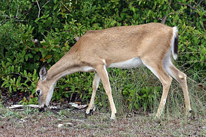 A female Key deer grazing. This species is onl...