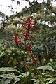 Odontonema tubaeforme (Acanthaceae) (29277532023).jpg