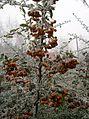 Ognik szkarłatny (Pyracantha coccinea M.Roem) 03.jpg
