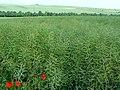 Oilseed rape ripening, near Tilshead - geograph.org.uk - 452208.jpg