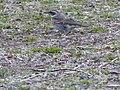 Oiseau japon 1.JPG