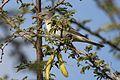 Olive-tree warbler, Hippolais olivetorum, at Zaagkuildrift Road near Kgomo Kgomo, Limpopo, South Africa (33565742845).jpg