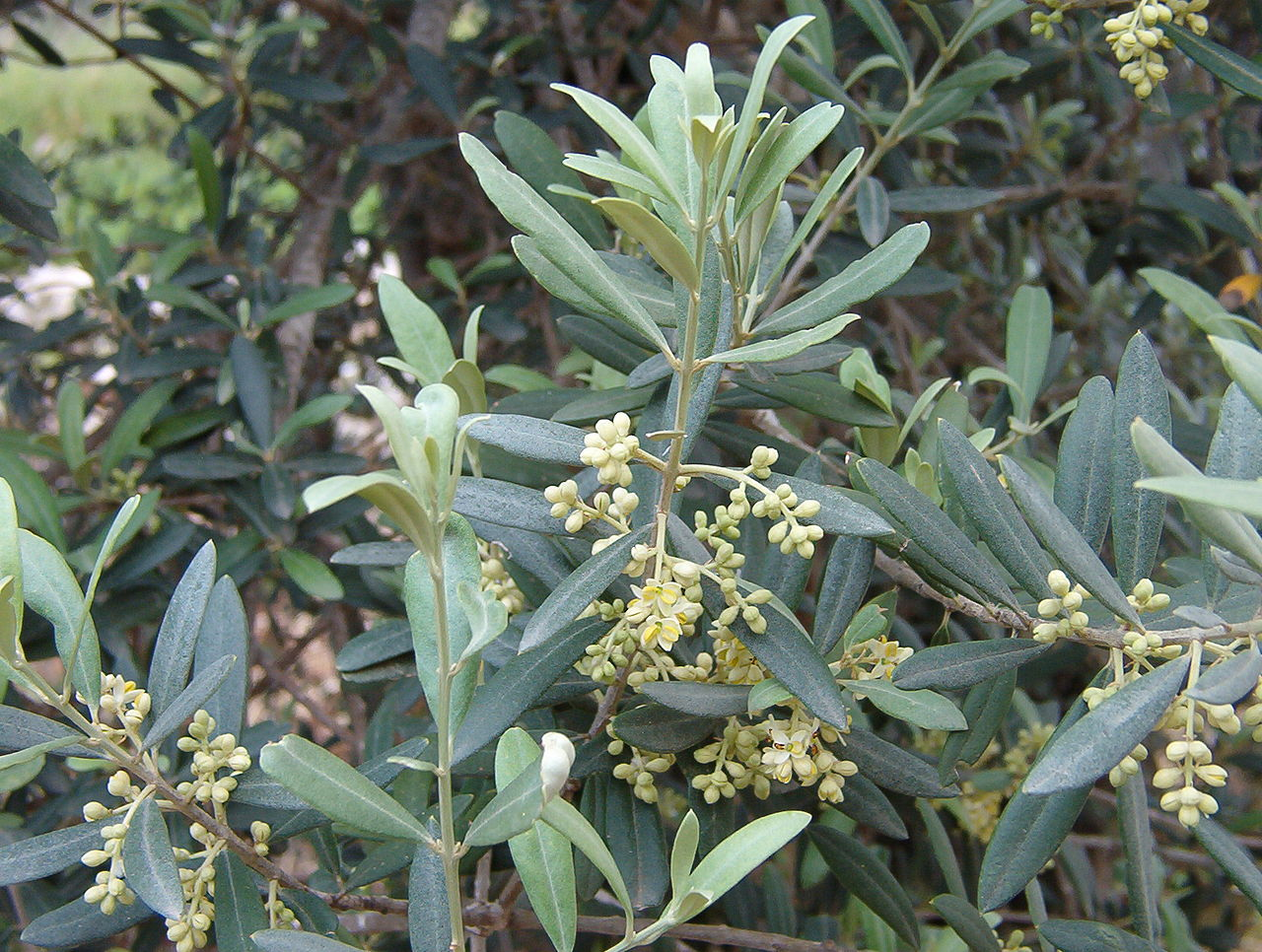 http://upload.wikimedia.org/wikipedia/commons/thumb/c/c0/Olive_blossoms.jpg/1280px-Olive_blossoms.jpg