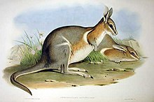 Dessin du wallaby à queue cornée.