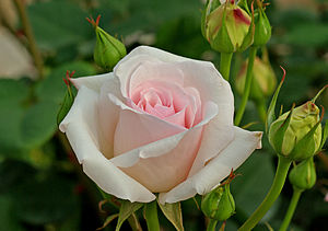 300px Ophelia   Hybrid Tea My Illness No Longer Controls Me