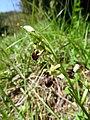 Ophrys sphegodes 20.jpg