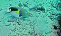 Orange-dotted Tuskfish (Choerodon anchorago) (6085306517).jpg