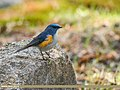 Orange-flanked Bush Robin (Tarsiger cyanurus) (38835537515).jpg