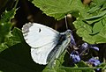 Orange-tip female. Anthocharis cardamines (35073537916).jpg