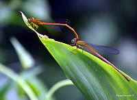 Orange Marsh Dart ( Ceriagrion rubiae) in tandem.jpg