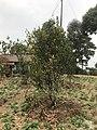 Orange Tree-Upper Sittong, Darjeeling 10.jpg