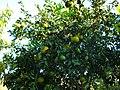 Orangenbäume Ende Oktotober östlich von Side - Sorgun - Titreyengöl - panoramio.jpg