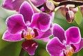 Orchids (17895315075).jpg