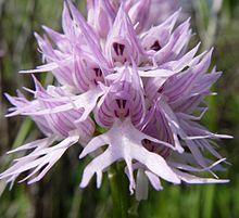 Orchis italica b.JPG