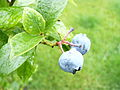 Organic blueberry 1 (2721447931).jpg