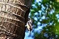 Oriental Magpie-robin (Copsychus saularis).jpg