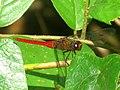 Orthetrum chrysis, Spine-tufted skimmer, or Crimson-tailed marsh Hawk, male .jpg