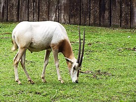 Oryx dammah.jpg