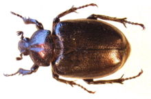 Osmoderma eremita female.jpg