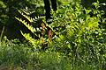 Osmunda japonica (17351930885).jpg