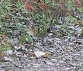 Ovenbird, Hammond Lakefront Park & Sanctuary, Indiana, September 29, 2012 (8039548381).jpg