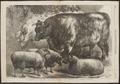 Ovis aries - 1868 - Print - Iconographia Zoologica - Special Collections University of Amsterdam - UBA01 IZ21200127.tif