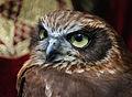 Owls @ Dragonheart, Enschede (9546637897).jpg