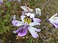 P1000495 Schizanthus pinnatus (Poor Man's Orchid) (Solanaceae) Flower.JPG