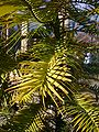 P1130552 Wollemia nobilis Wollemi Pine (Araucariaceae).JPG