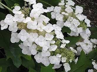 Hydrangea quercifolia - Image: P6164299カシワバアジサイ
