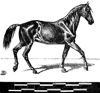 PSM V06 D149 Representation of horse at a walking pace.jpg